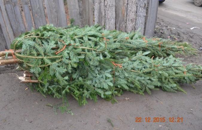 BRAZI CONFISCAȚI în prag de Crăciun! Unde au depistat jandarmii pomii tăiați ilegal