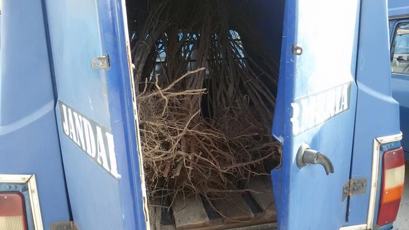 Puieţi de pomi fructiferi fără documente legale, confiscaţi de jandarmi în piaţa din Beclean