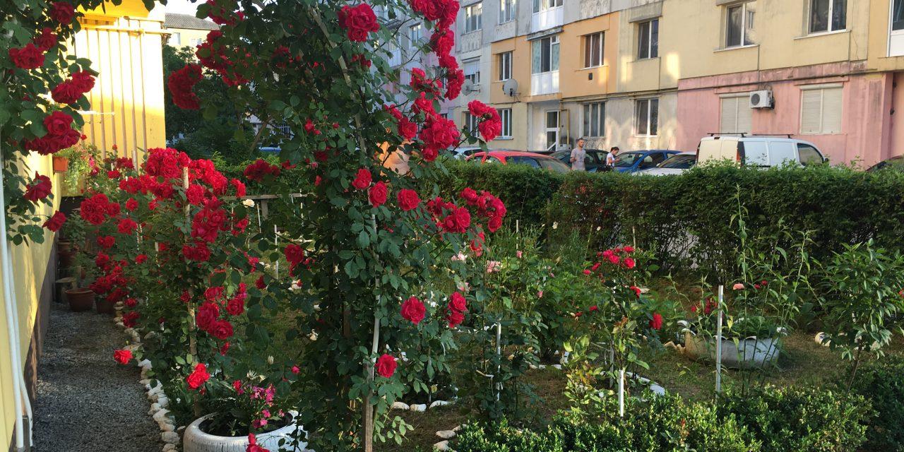 O familie din Beclean impresionează trecătorii cu o grădină de trandafiri amenajată în fața blocului. Iată despre cine este vorba – FOTO